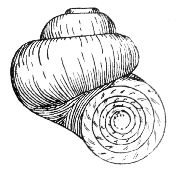 Drawing of shell